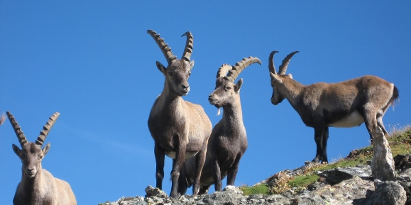 Ibexes in the Albris area