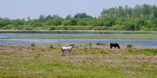 Das Grünland im Katinger Watt wird zur Pflege extensiv beweidete.