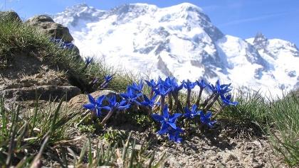 Enzian mit Breithorn (4164 m)