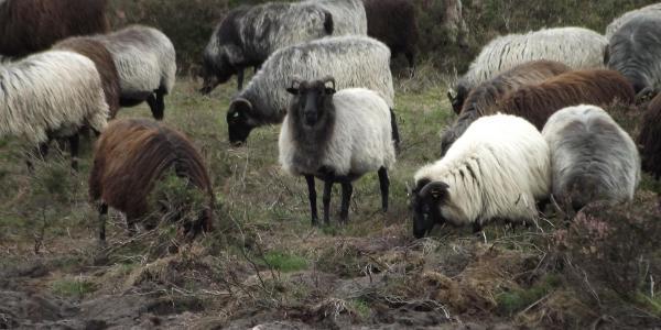 Mit etwas Glück trifft man während der Wanderung auf eine Herde Heidschnucken.