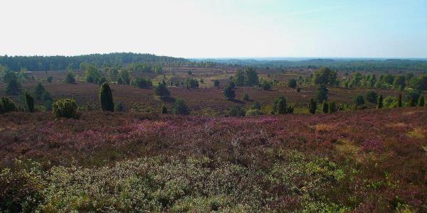 Blick vom Wilseder Berg auf weite blühende Heideflächen.