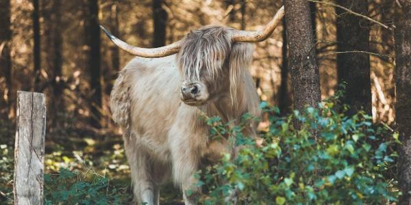 Rinder im Wald bei Oerlinghausen
