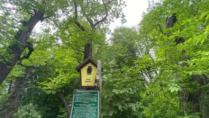 5 Brüder - Esskastanienbäume