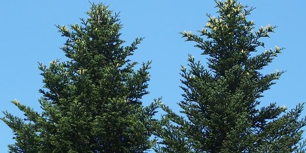 Tannen, Charakterbäume des Schwarzwalds