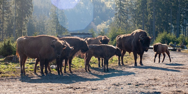 Wisent Herde am Weg