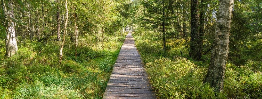 Ein Bohlenweg führt in die einzigartige Naturlandschaft rund um das Hochmoor am Kaltenbronn