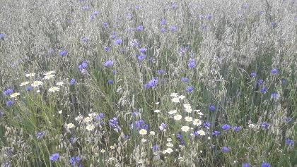 Blühendes Getreidefels