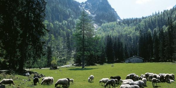 Schafe auf der Eckaualm