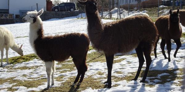 Lamas im Gehege Auerbach