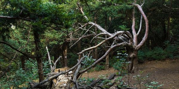 A Szentgáli-tiszafás egyik öreg tiszafája