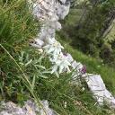 Edelweiss at Trodo dei fiori