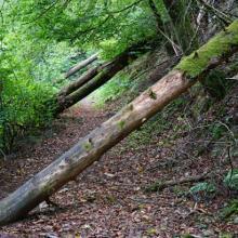 Etliche Bäume queren den Weg