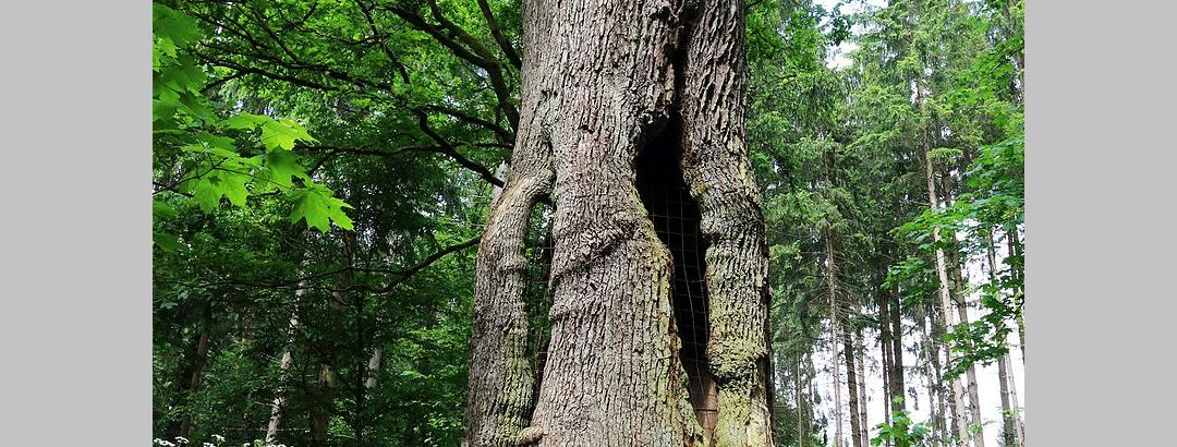 1000-jährige Eiche im Holter Wald