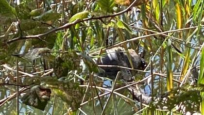 Wasserschildkröte im Losheimer See