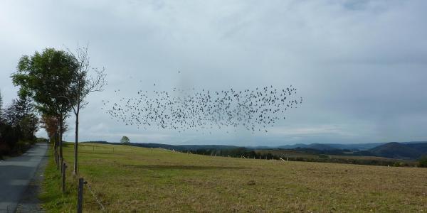 Auf dem Kammweg bei Langewiese. Die Stare sammeln sich zum Flug nach Süden.