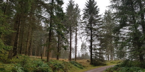 Forestry track between Drymen and Aberfoyle