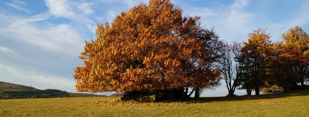 Hutebuche im Rhöner Herbst