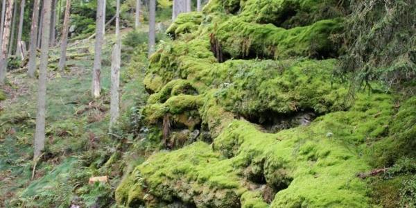 bemooste Felsen am Rockenburger Urwaldpfad