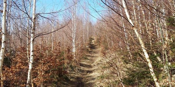 Schöner Wegverlauf durch den Birkenwald