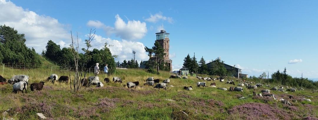 Grindebeweidung und Hornisgrinde-Aussichtsturm