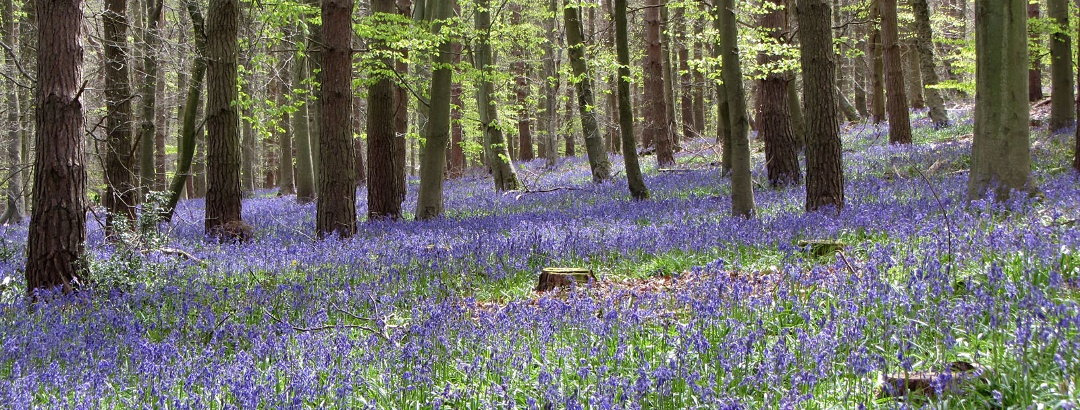 Bluebells in Hitch Wood