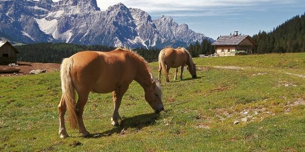 Pferde auf der Nemesalm gegen die Sextner Dolomiten (Dreischusterspitze).