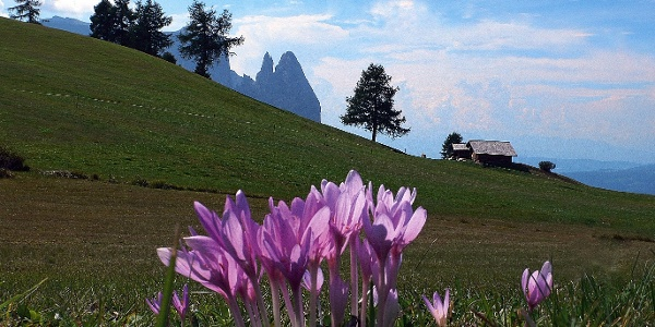 In the background the Scuiliar with the Euringer and the Santer summit, on the Alpe di Siusi.