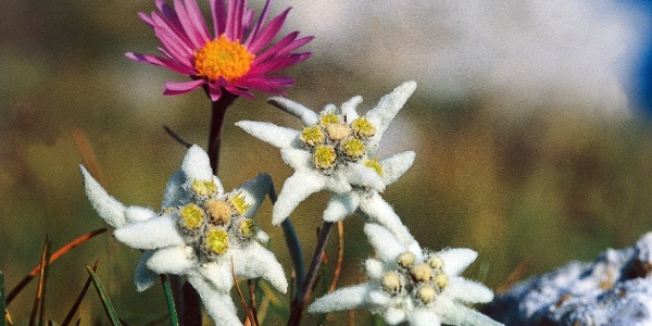 Mountain flowers in the Dolomtes of Val Gardena - the edelweiss.