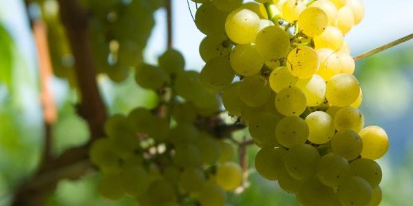 Durch die Weinberge und ihren Früchten.