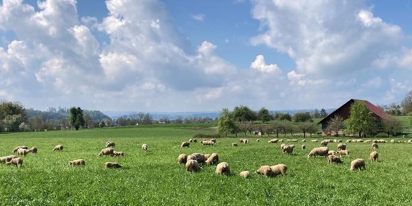 Schafe auf dem Weg zum Affenberg