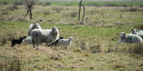 Schafe im Siebendörfer Moor