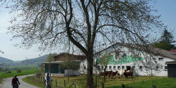 Kühe in Niedeck