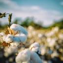 Cotton field in Alabama