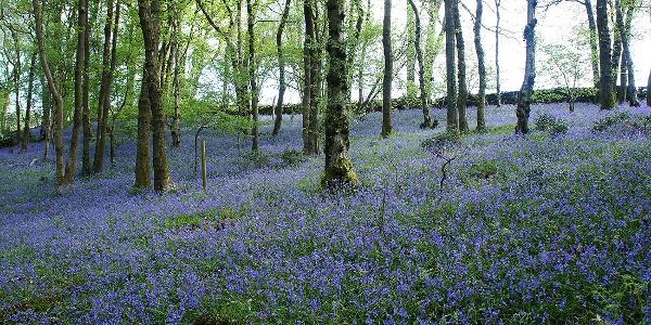 Bluebells Outhwaite Wood, Roeburndale