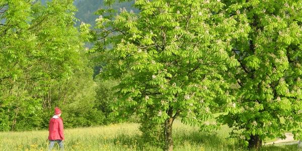 Im Frühjahr geht es durch blühende Wiesen dem Nussensee entgegen.