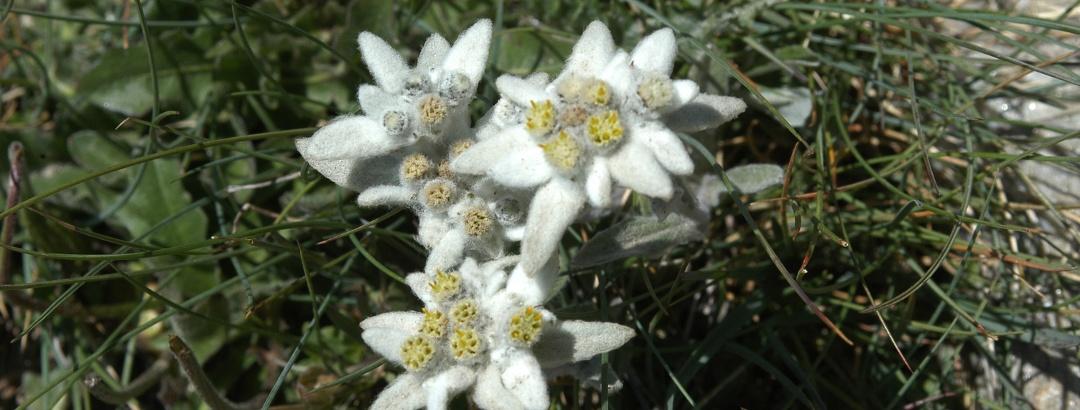 A voir avec un peu de chance: l'edelweiss