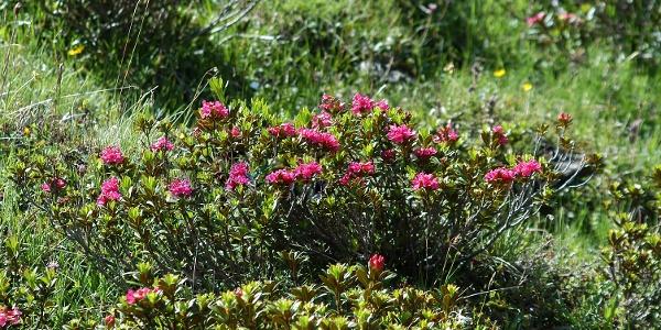 Sur le chemin éventuellement en été: le rhododendron poilu
