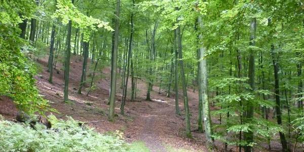 High-level beech forest around the viewing platform