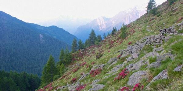 ein Meer von Alpenrosen