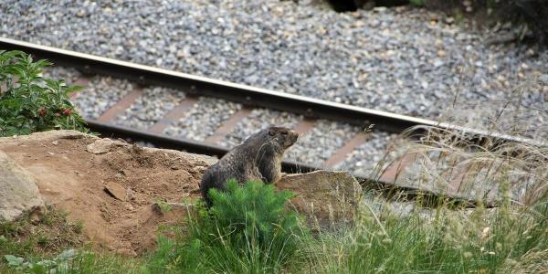 A voir partout le long du chemin: des marmottes